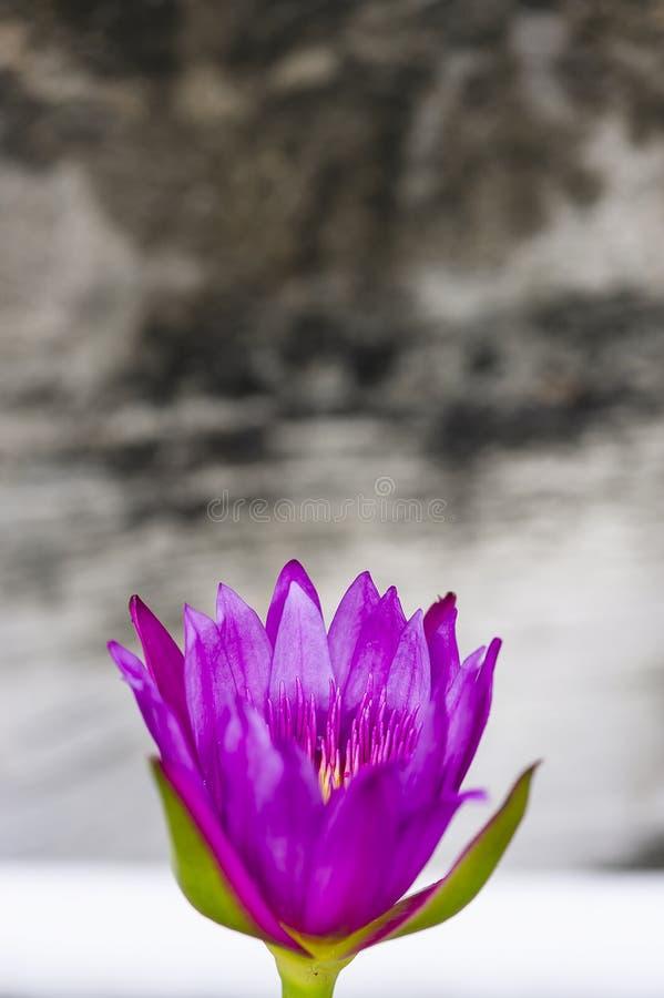 Ruhige purpurrote Seerose in Zen Outdoor lizenzfreies stockfoto