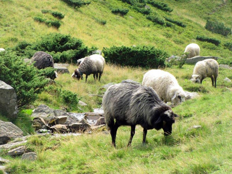Ruhige Schafe stockfotos