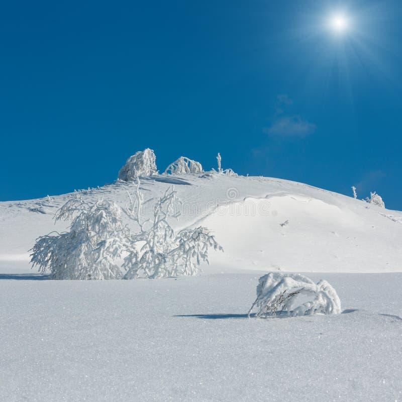 Ruhige sunshiny Berglandschaft des Winters mit schönen bereifenden Bäumen und Schneewehen auf Steigung Karpatenbergen, Ukraine stockfotos