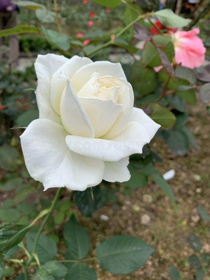 Ruhige und ruhige weiße Rose stockfotos