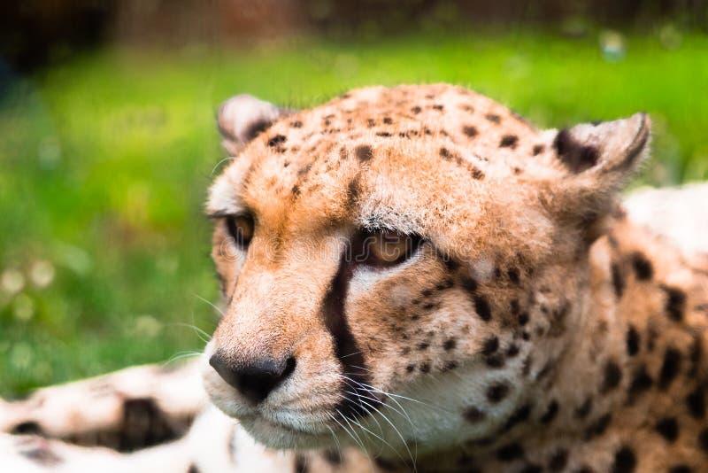 Ruhiger Leopard stockfotos