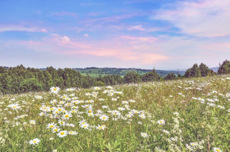 Ruhiger rosa Sommersonnenaufgang über Kamillenwiese auf Steigung des Hügels stockfotos