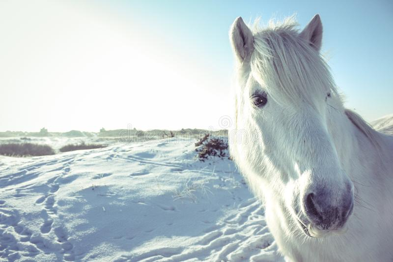 Ruhiger Schimmel in einer Schneelandschaft lizenzfreies stockfoto