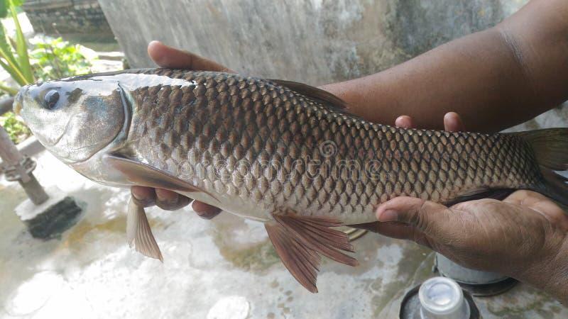Rui fisk royaltyfria foton