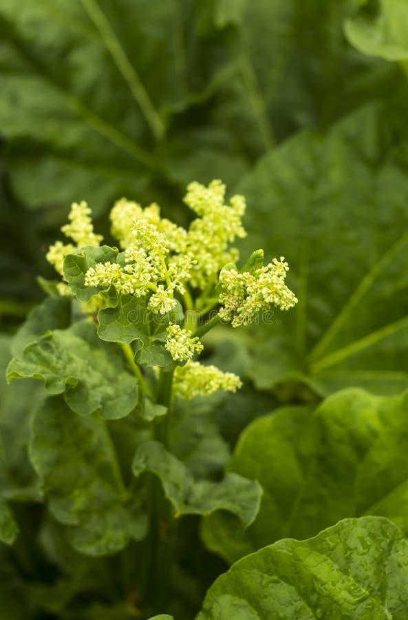 Ruibarbo de florescência, inflorescência das flores em um fundo verde imagens de stock