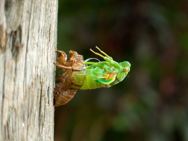 Ruiende cicade stock afbeeldingen