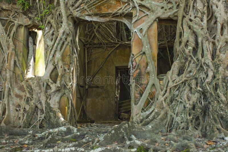Ruina del edificio abandonado cubierto con las raíces en la isla de Ross  foto de archivo