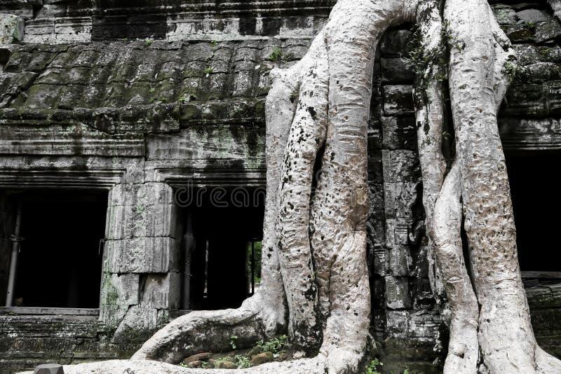 Ruinas Árbol-cubiertas de TA Prohm imagen de archivo