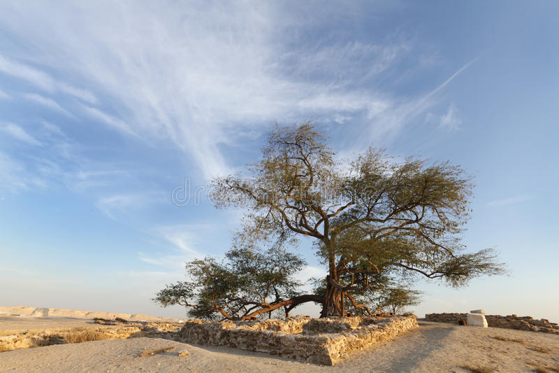 Ruinen und bleibt naher Baum des Lebens Bahrain stockfoto