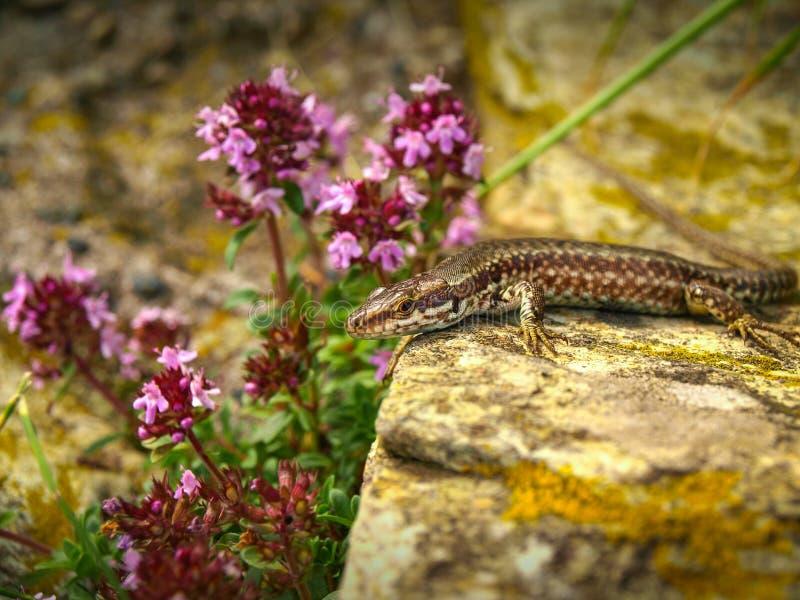 Ruineneidechse- oder Ruineneidechse Podarcis-sicula, Lacertidae, Beigua-Staatsangehöriger Geopark lizenzfreies stockbild