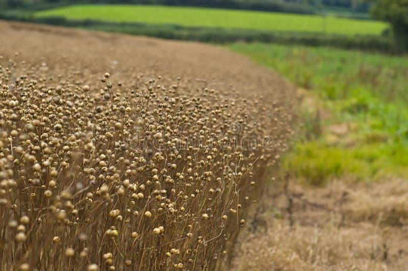 Ruinierte Getreide lizenzfreie stockfotografie