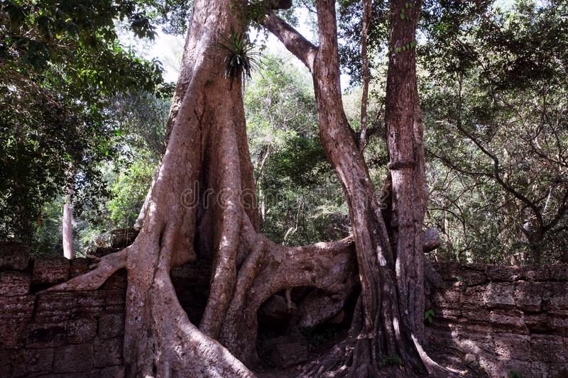 The ruins of ancient buildings, absorbed by the jungle. Huge tree roots Tetrameles. Antique stonework in the jungle royalty free stock images