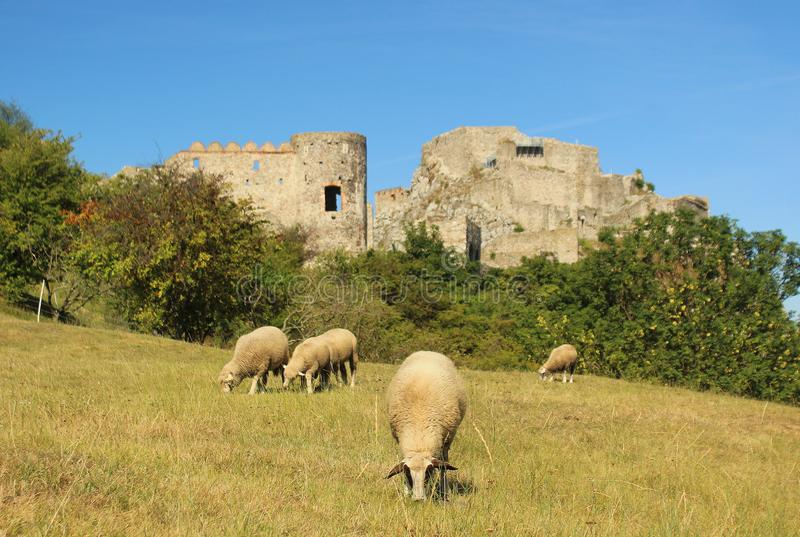Sheep at a pastures in front of an ancient castle in summer royalty free stock photos
