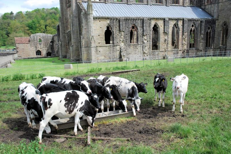 Wales - Ruins of Tintern Abbey with cows - village of Tintern. Wales - Cistercian Abbey of Tintern - Abaty Tyndyrn - ruins of a church and monastery - with cows royalty free stock images