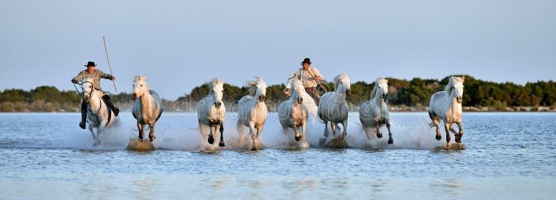 Ruiters en Kudde van Witte Camargue-paarden die water doornemen stock fotografie