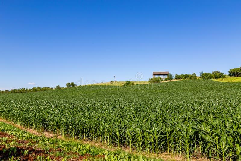Rullande fält av det unga havrefältet på en lantgård i Gretna Nebraska royaltyfri bild