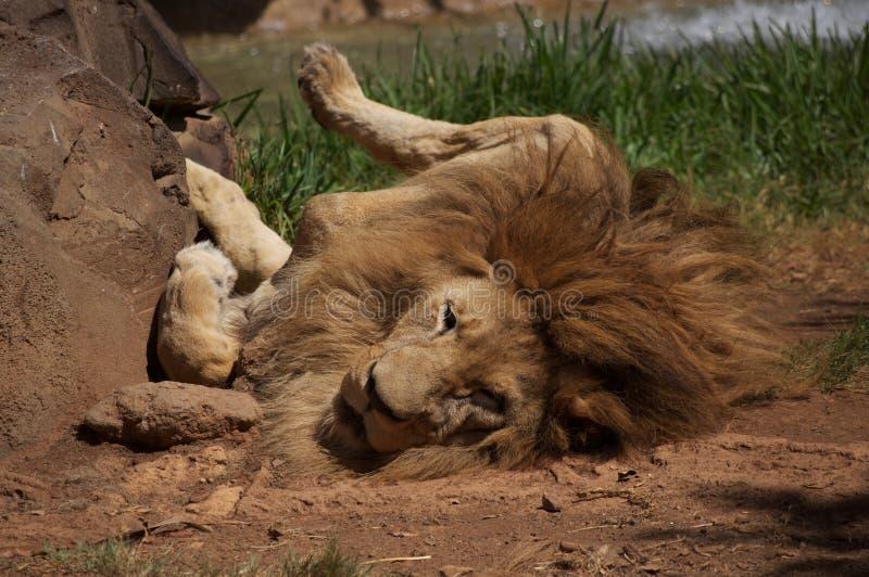 Rullande lejon royaltyfria foton