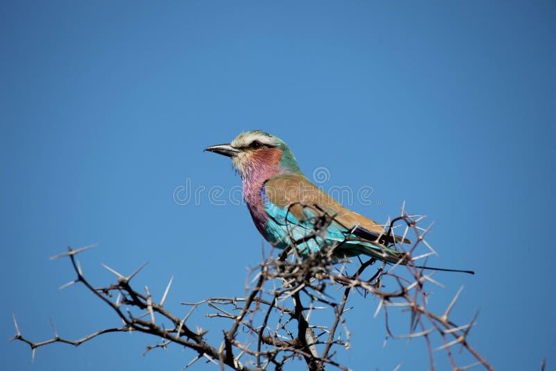 Rullen Sabines (Coraciascaudataen), Kruger parkerar, Sydafrika arkivfoto