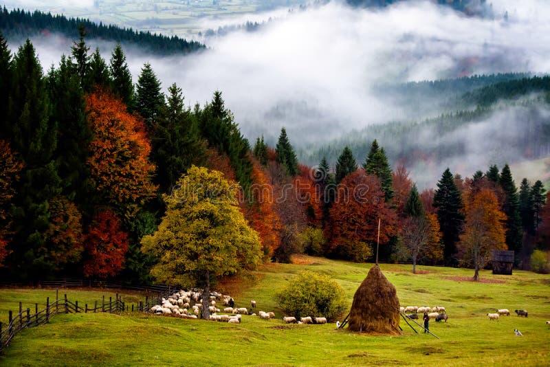 Rumänien härligt landskap, höst i Bucovina med herden royaltyfria bilder