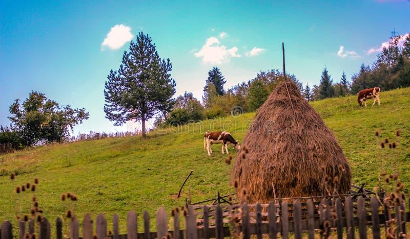 Rumänskt lantligt landskap med att beta för kor royaltyfri fotografi