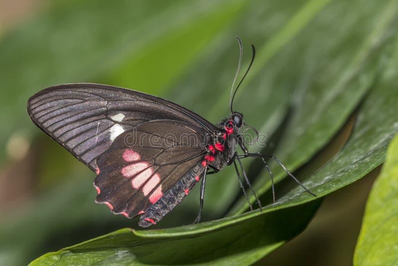 Rumanzovia Swallowtail butterfly. A Rumanzovia Swallowtail, also known as a Scarlet Swallowtail Papilio rumanzovia is found in the Australasia region royalty free stock photos