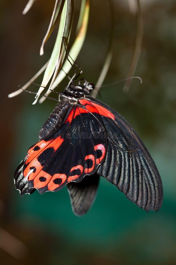 Rumanzovia van Papilio, Scharlaken Mormoon royalty-vrije stock afbeeldingen