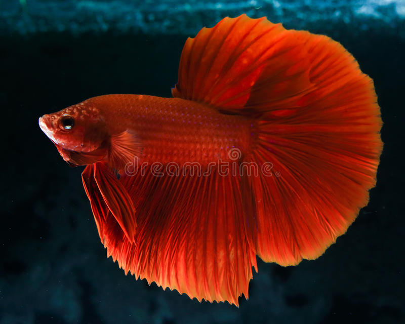Rumble Fish Betta royalty free stock photos