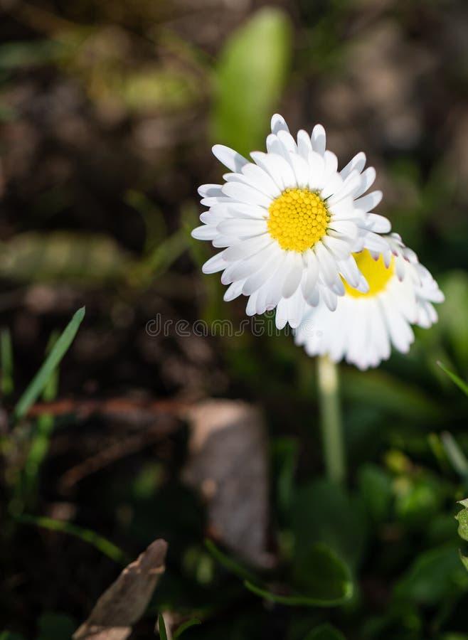 rumianek Kwiaty Wiosna Natura Ziele? obrazy stock