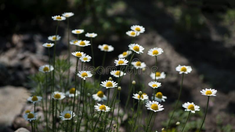 Rumianek to kwiat gojący fotografia royalty free