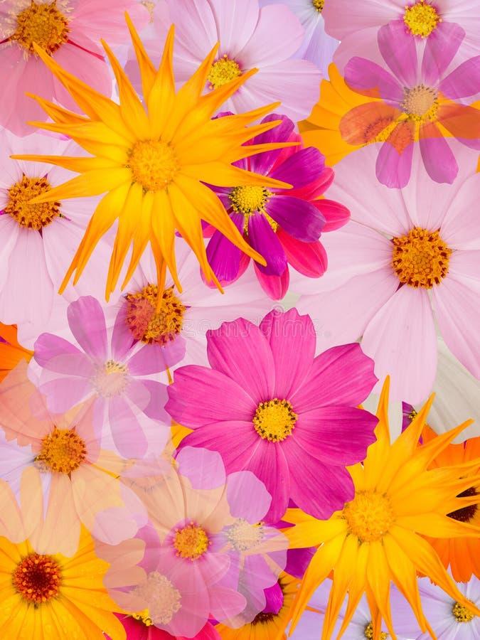 rumianków kwiaty obraz royalty free