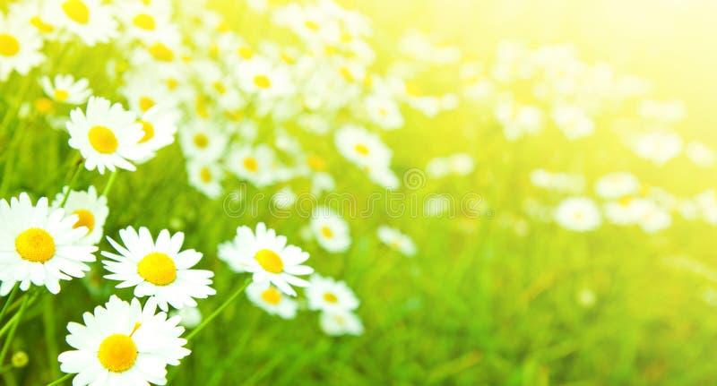 Rumianków kwiaty fotografia stock
