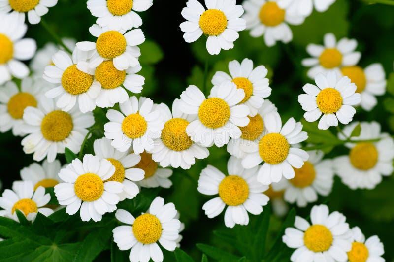 Download Rumianki biały obraz stock. Obraz złożonej z kwiat, stamen - 13148289