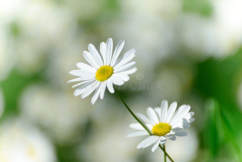 rumianku chamomilla kwitnie matricaria ilustracyjnego wektor fotografia royalty free