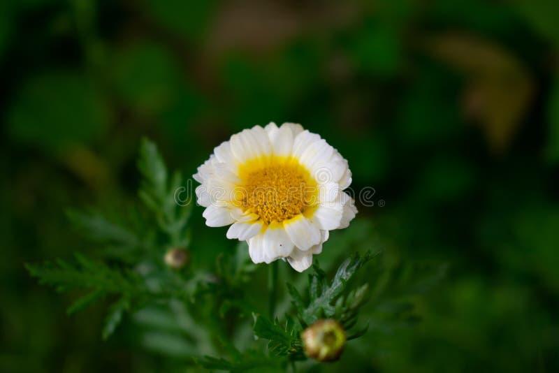 Rumianku kwiat na zielonym rozmytym tle fotografia royalty free