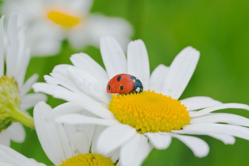 rumianku ladybird obrazy stock