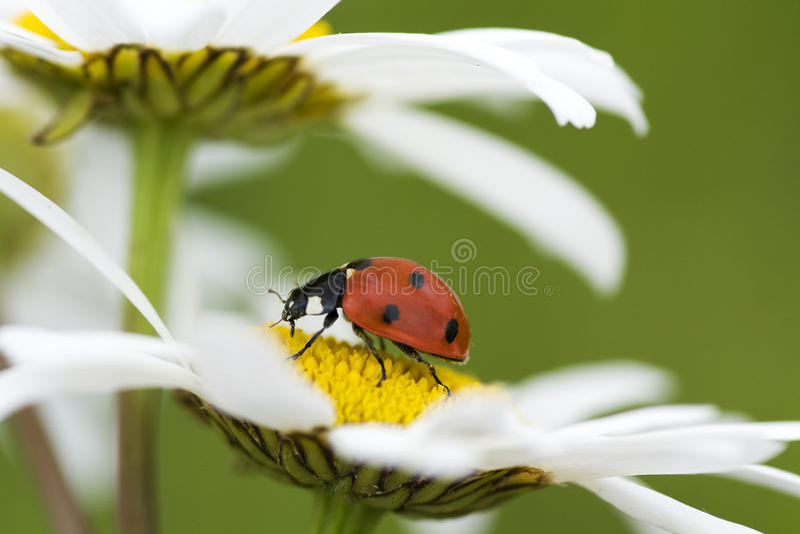 rumianku ladybird fotografia stock