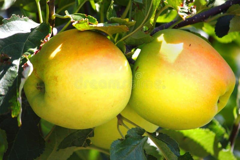 Rumieniec na Żółtych jabłkach obraz stock
