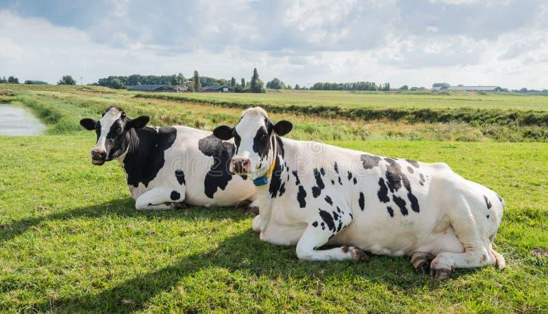 Ruminando vacas fotografia de stock