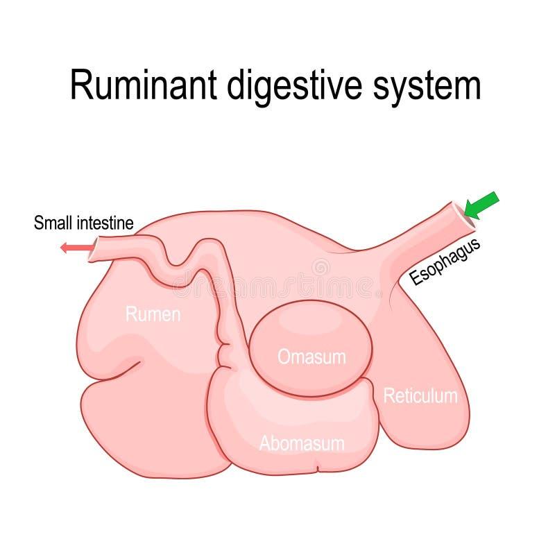 Free Ruminant Digestive System: Rumen, Reticulum, Omasum, And Abomasum Stock Photography - 126459142
