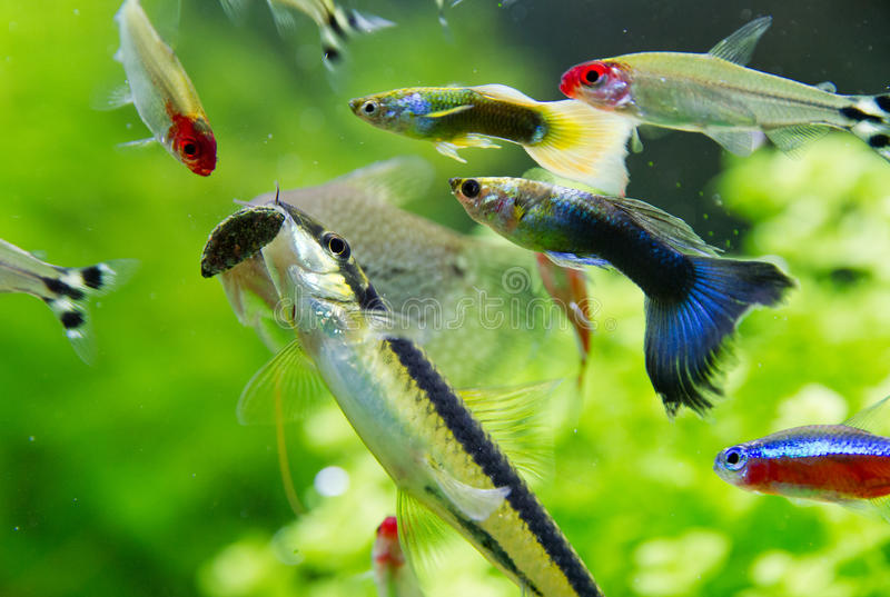 Rummy nose tetra and Guppy fish in aquarium. Closeup of rummy nose, guppy fish and Siamnese Algae Eater in a freshwater aquarium stock photography