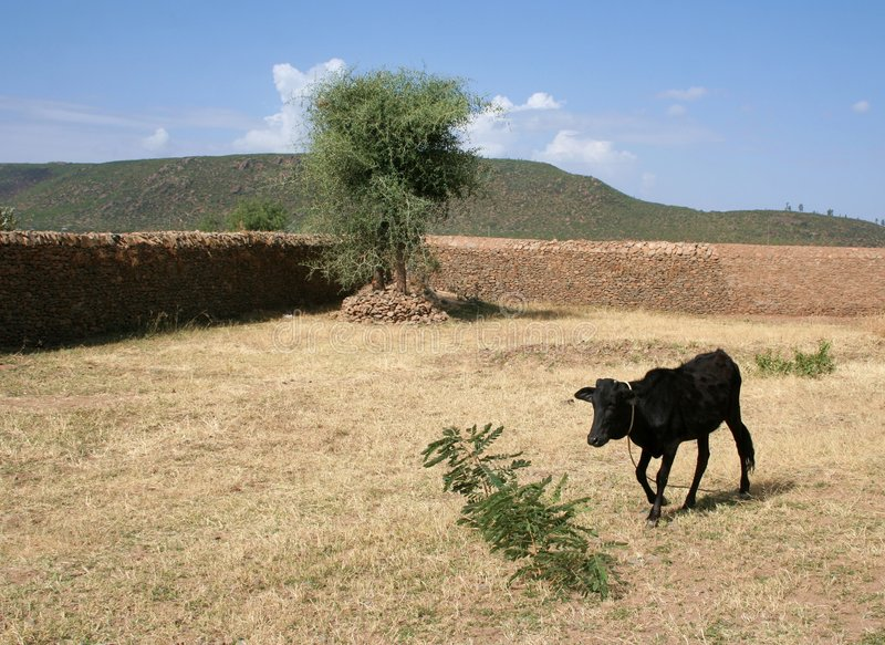 Download Runaway Cow stock image. Image of field, black, farm, agriculture - 4510255