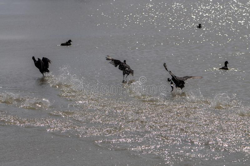 Runaway waterfowl  birds and drops of water on the seashore. Runaway waterfowl black birds and drops of water on the seashore stock photo