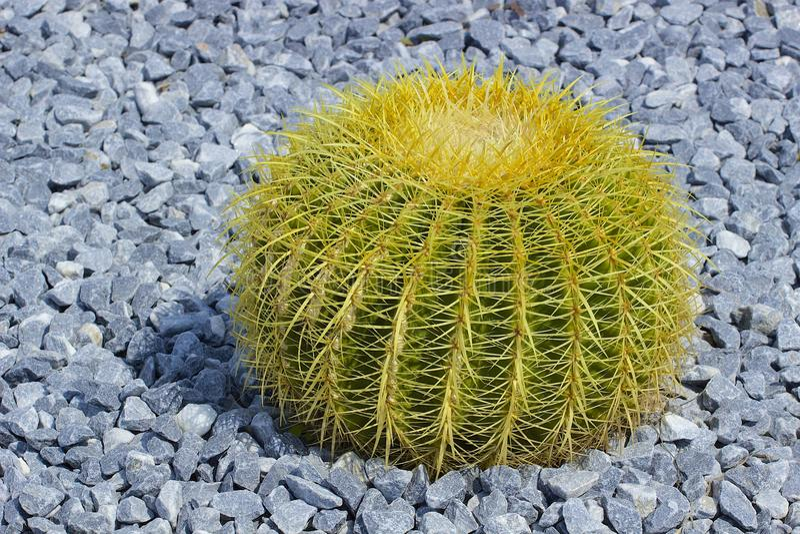 rund kaktus royaltyfri foto