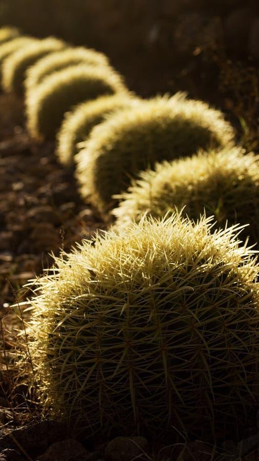 runda kaktus arkivbild
