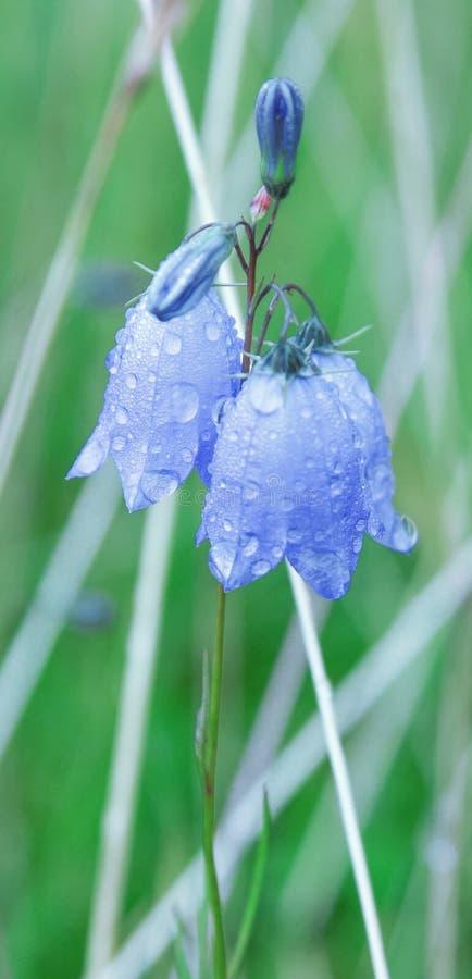 Runda-leaved blåklockaklockblommarotundifolia i daggdroppar i försommarmorgonen Konstnärligt bearbeta för färg arkivbild