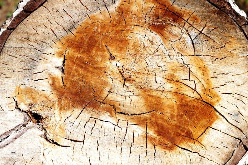 Runda-snitt trätextur arkivbild