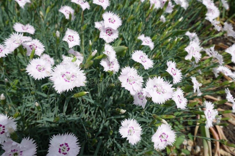 Runda vita blommor av rosa färger med satte fransar på marginaler fotografering för bildbyråer