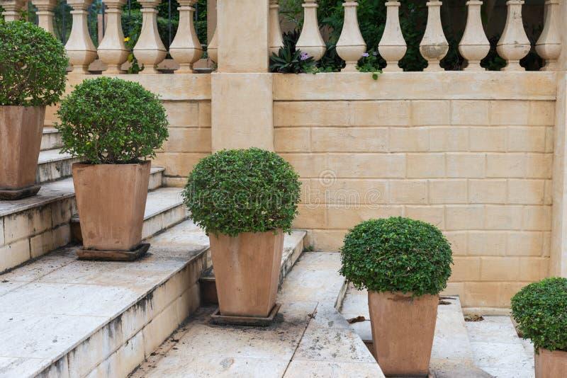 Rundad grön busketrädkruka på trappa med väggen royaltyfria bilder