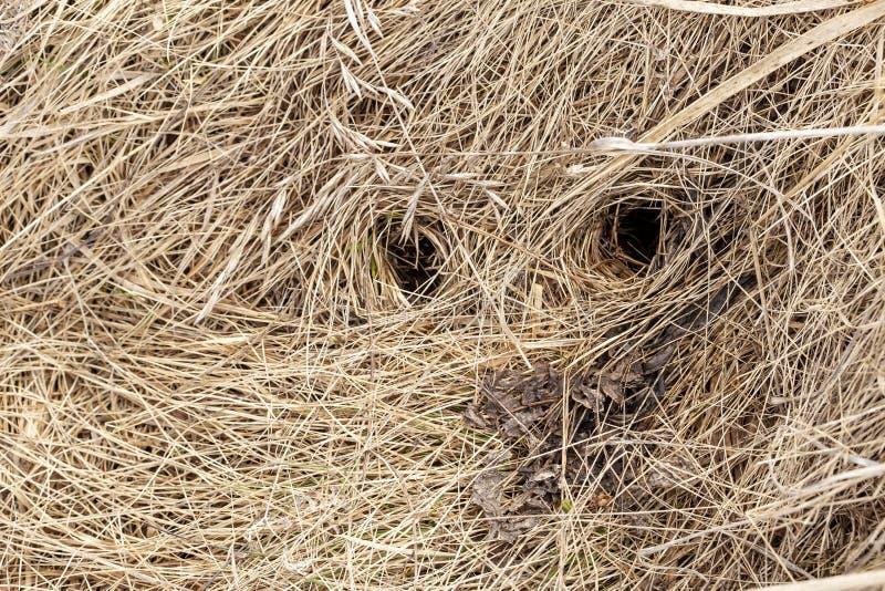 Runde Löcher, der Eingang zum Nerz im trockenen, alten Gras, auf dem Gebiet, an einem Frühlingstag Beschneidungspfad eingeschloss stockbilder