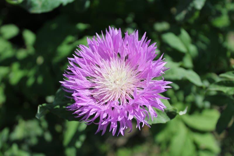 Runde lila Blume hat Blumenblätter gezeigt lizenzfreies stockbild